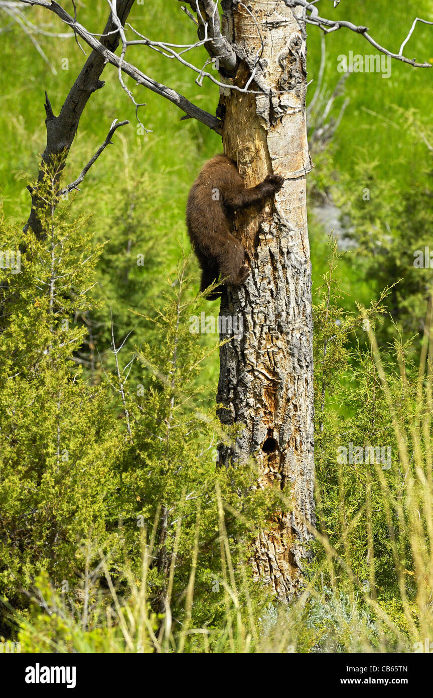 Cinnamon-colored Black Bear cub sticking its head into the cavity nest of woodpeckers (Northern Flicker). - Stock Image