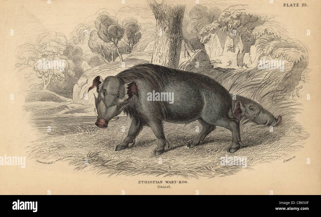 Desert or Ethiopian warthog, Phacochoerus aethiopicus. - Stock Image