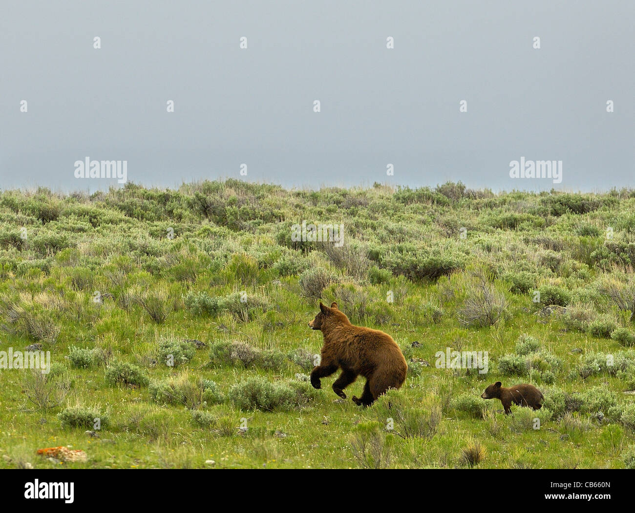 Cinnamon-colored Black Bear Mother running with her cub. Stock Photo