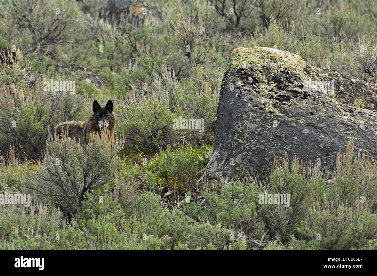 Black wolf in the environment - Stock Image