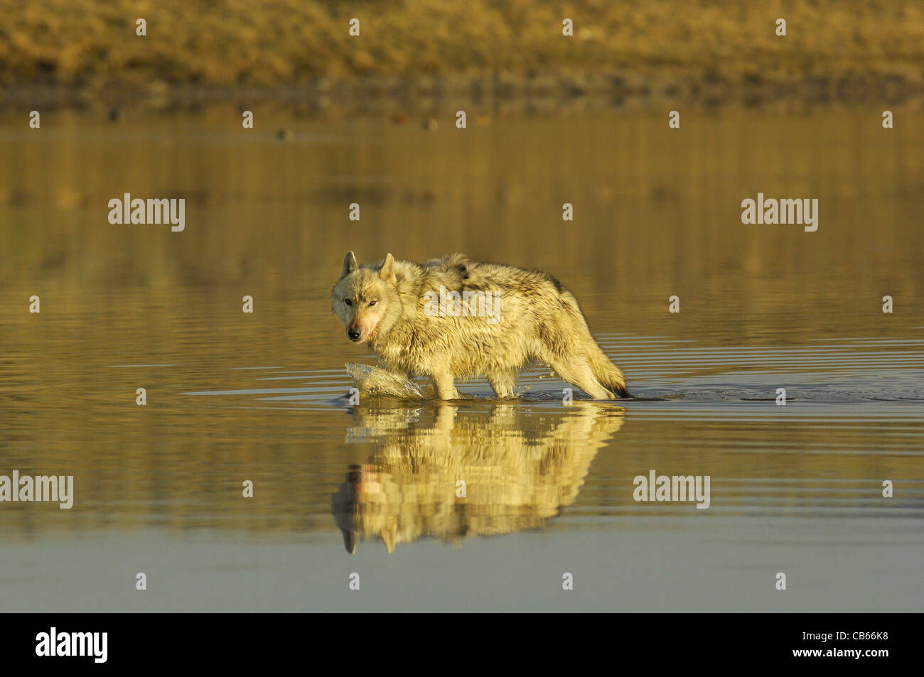 Wolf in the River Stock Photo