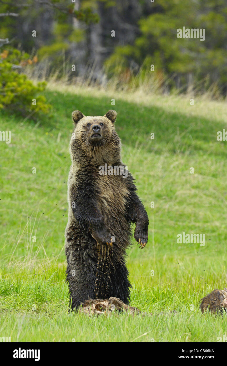 Grizzly Stands Guard - Stock Image