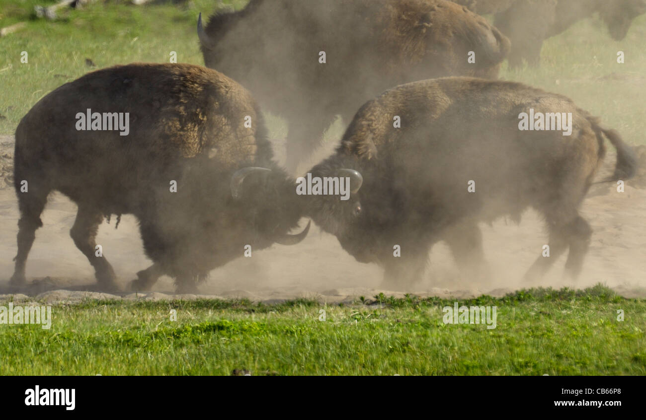 Buffalo Bull Fight Up Close Stock Photo