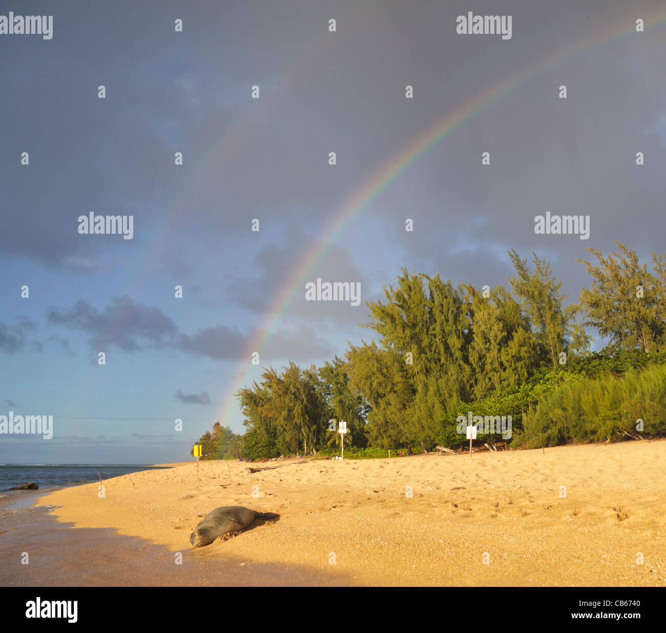 Hawaiian monk seal rests on beach in Haena, Kauai, near Tunnels Beach as double rainbows color the sky - Stock Image