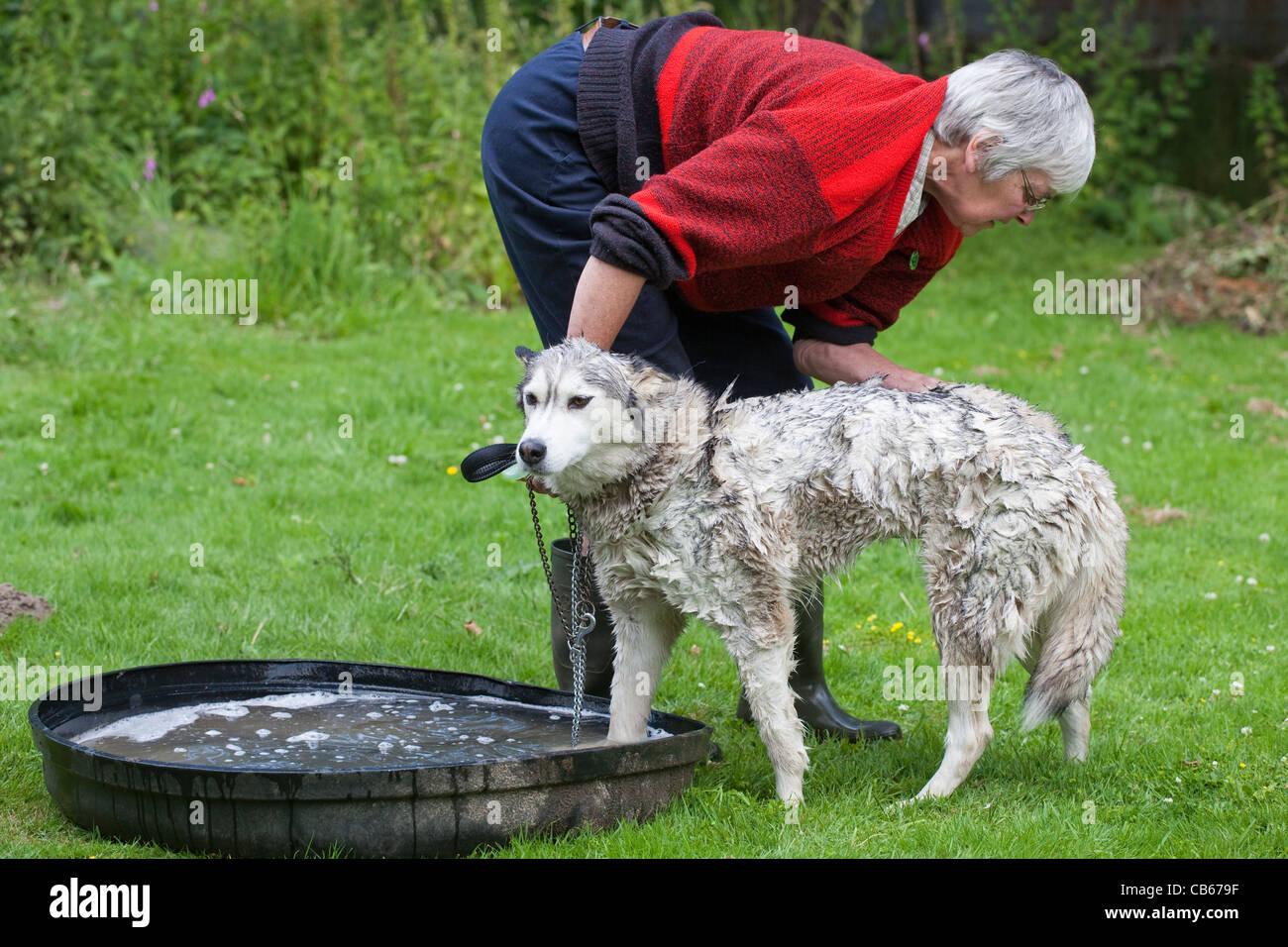 Husky Canis lupus familiaris During Coat wash, close scrutiny for external parasites; deer, sheep ticks Ixodes sp. - Stock Image