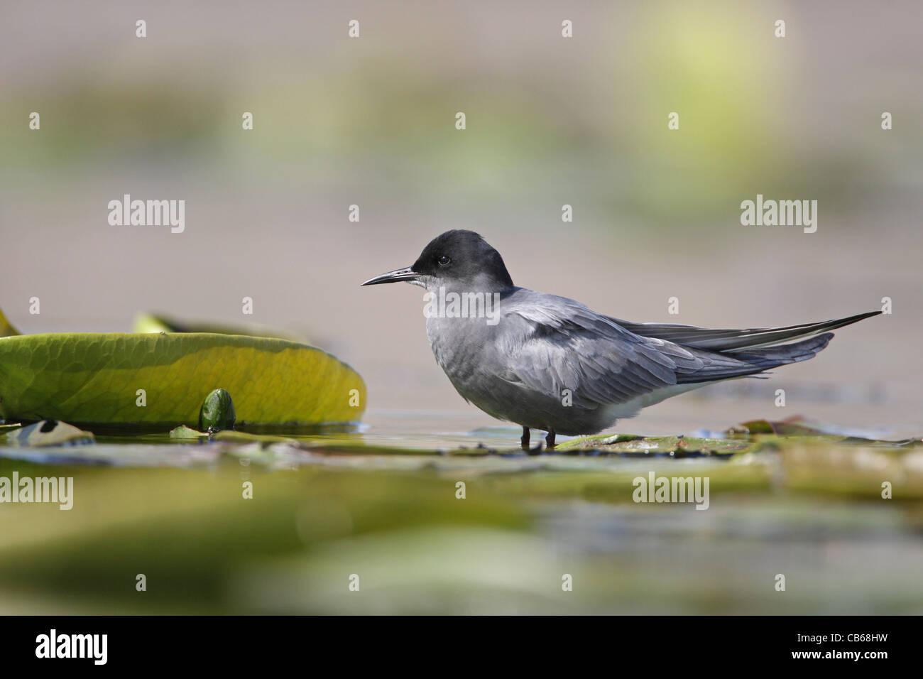 Black Tern , Chlidonias niger/ - Stock Image