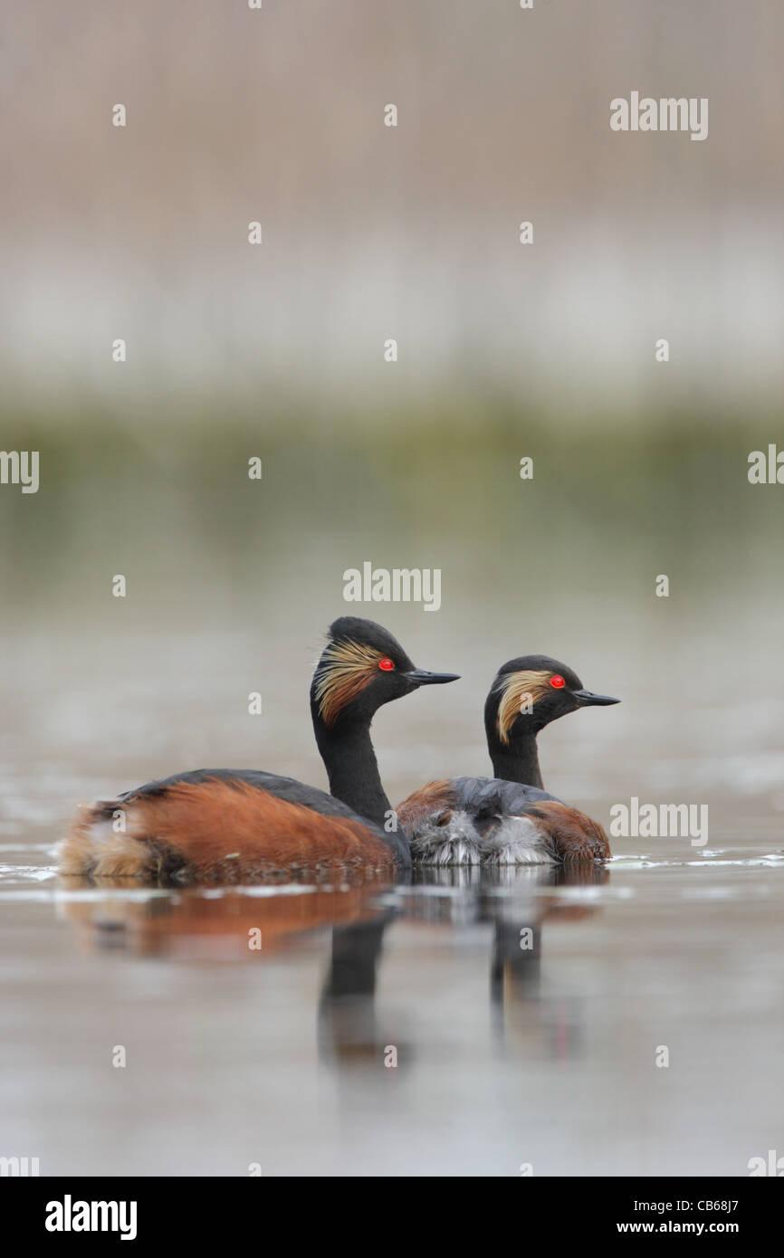 A couple of Black-necked Grebes (Podiceps nigricollis, Schwarzhalstaucher) swimming, Podicipedidae, Bulgaria - Stock Image