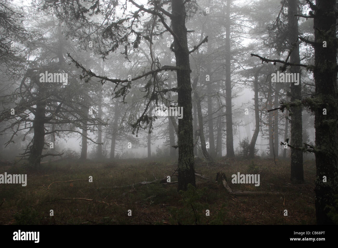 mystic foggy conifer forest, autumn, Rodopi Mountain - Stock Image