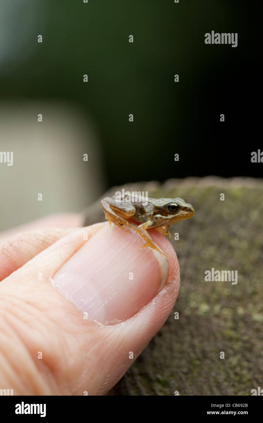 Common Frog (Rana temporaria). Recently metamorphosed 'froglet', on a human thumb. Stock Photo