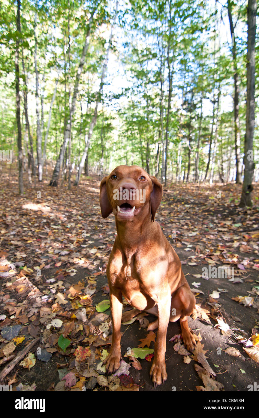 A vizsla dog sits in the forest on the ground which is covered with autumn leaves. - Stock Image