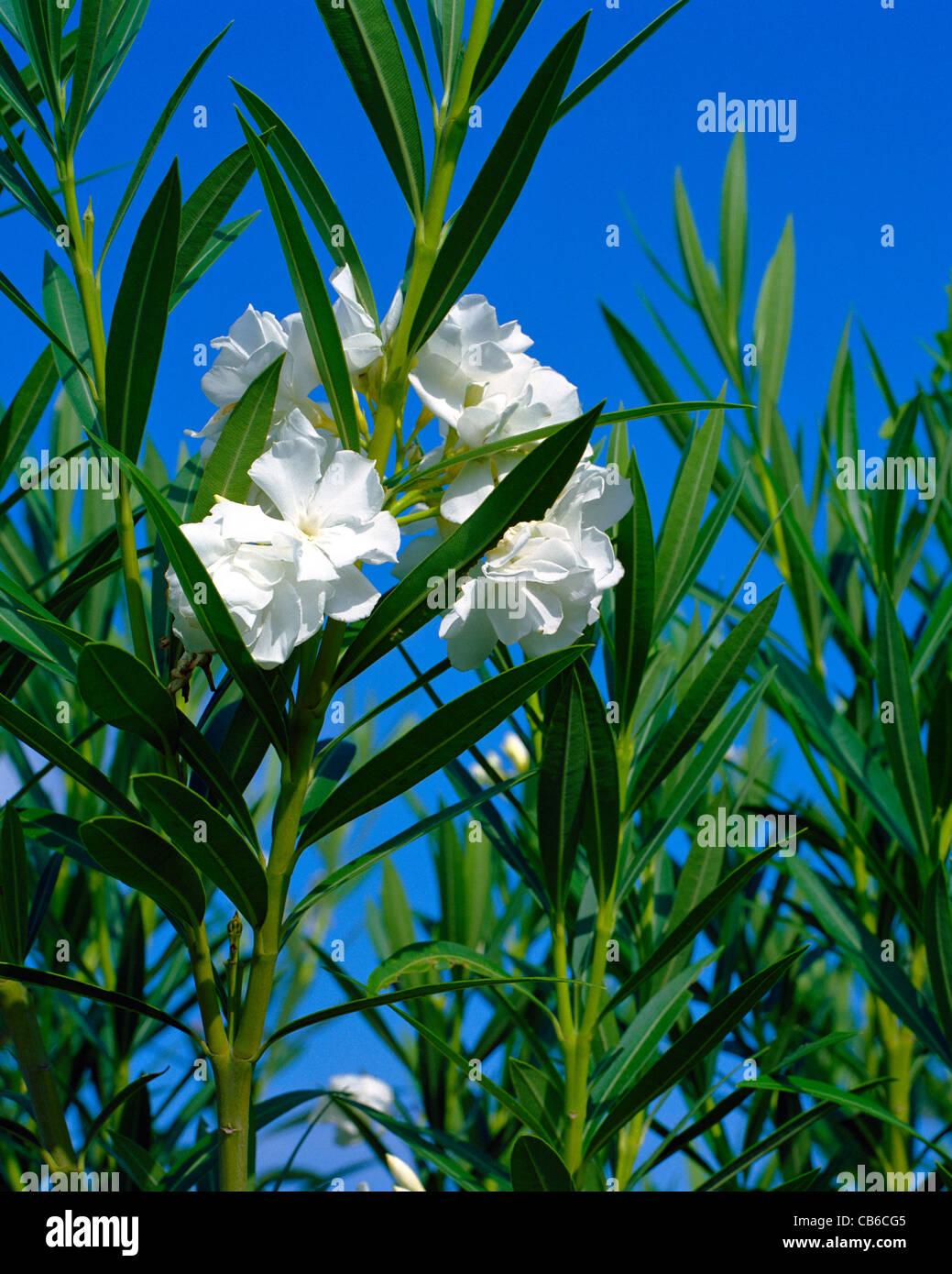 White flower of nerium oleander against blue sky big island hawaii white flower of nerium oleander against blue sky big island hawaii mightylinksfo