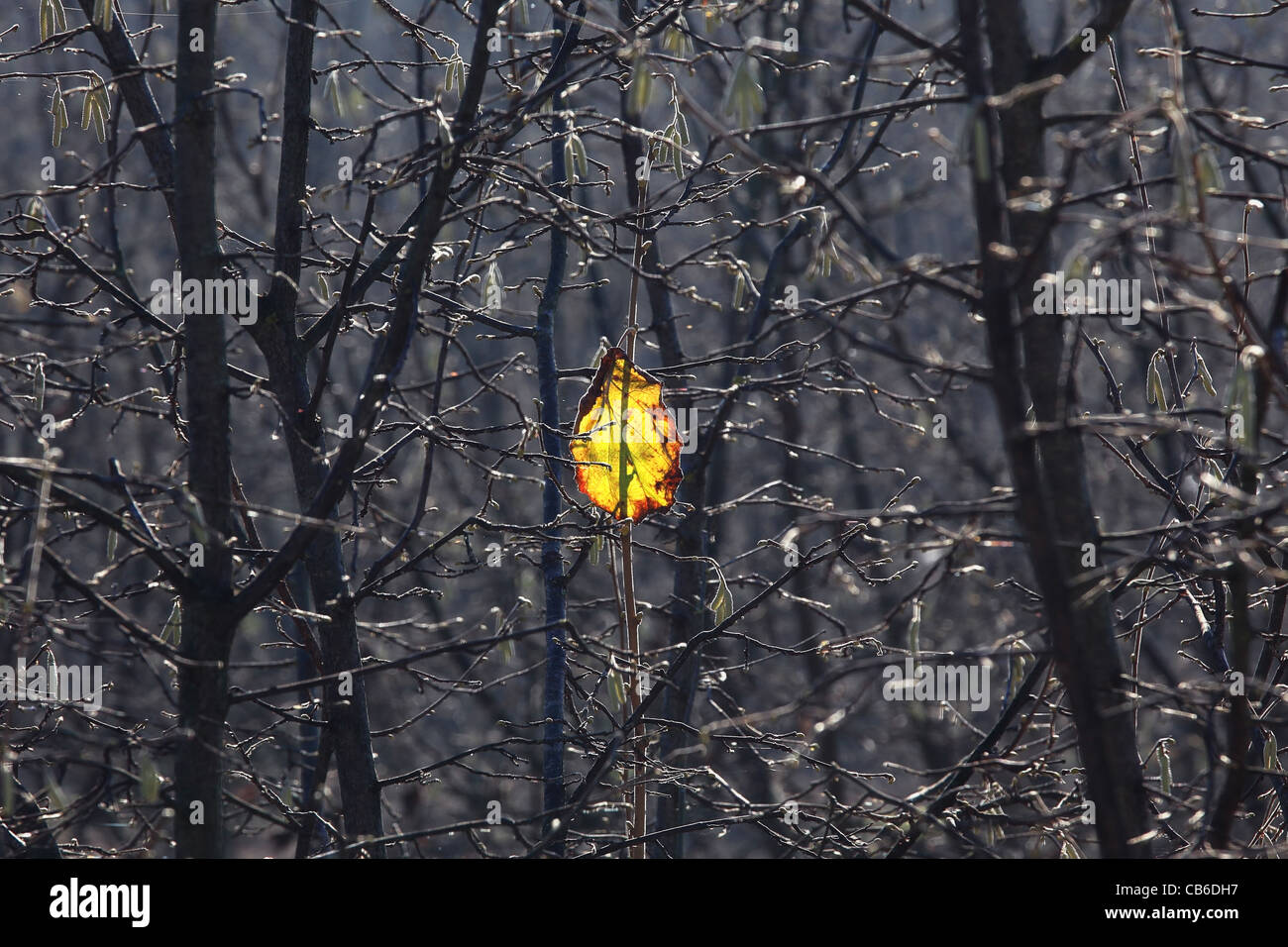Lone yellow leaf on the branch. - Stock Image