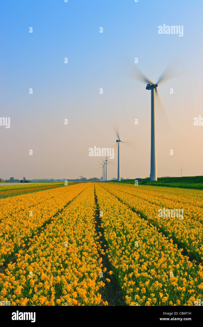 Dutch bulb and flowers fields during the spring in the Netherlands - Stock Image