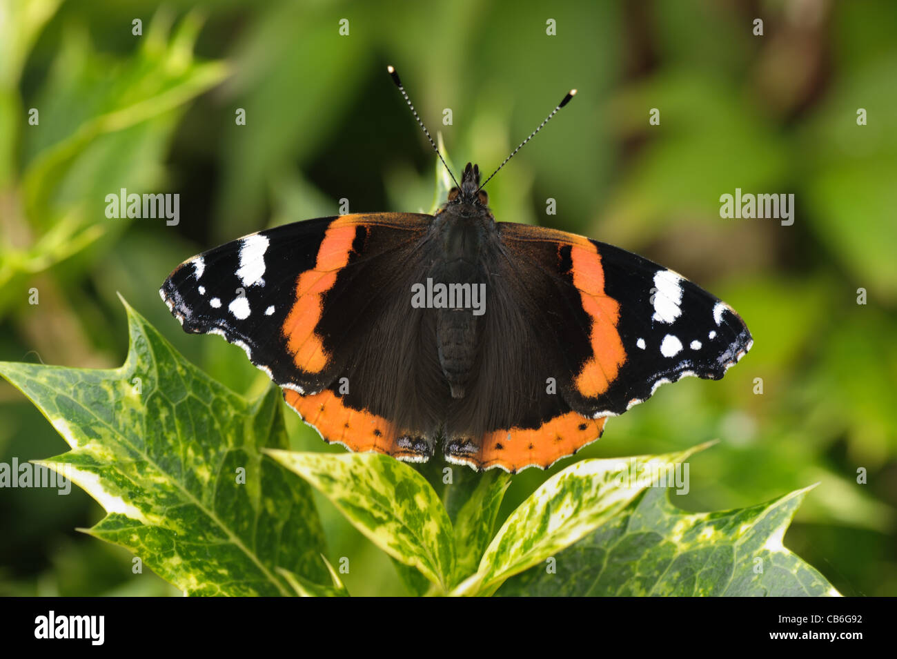 Red admiral (Vanessa atalanta) butterfly on a variegated holly leaf - Stock Image