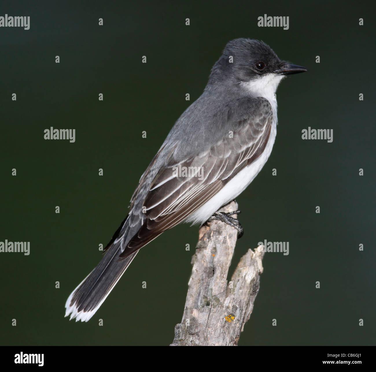 Eastern Kingbird  Tyrannus tyrannus Stock Photo