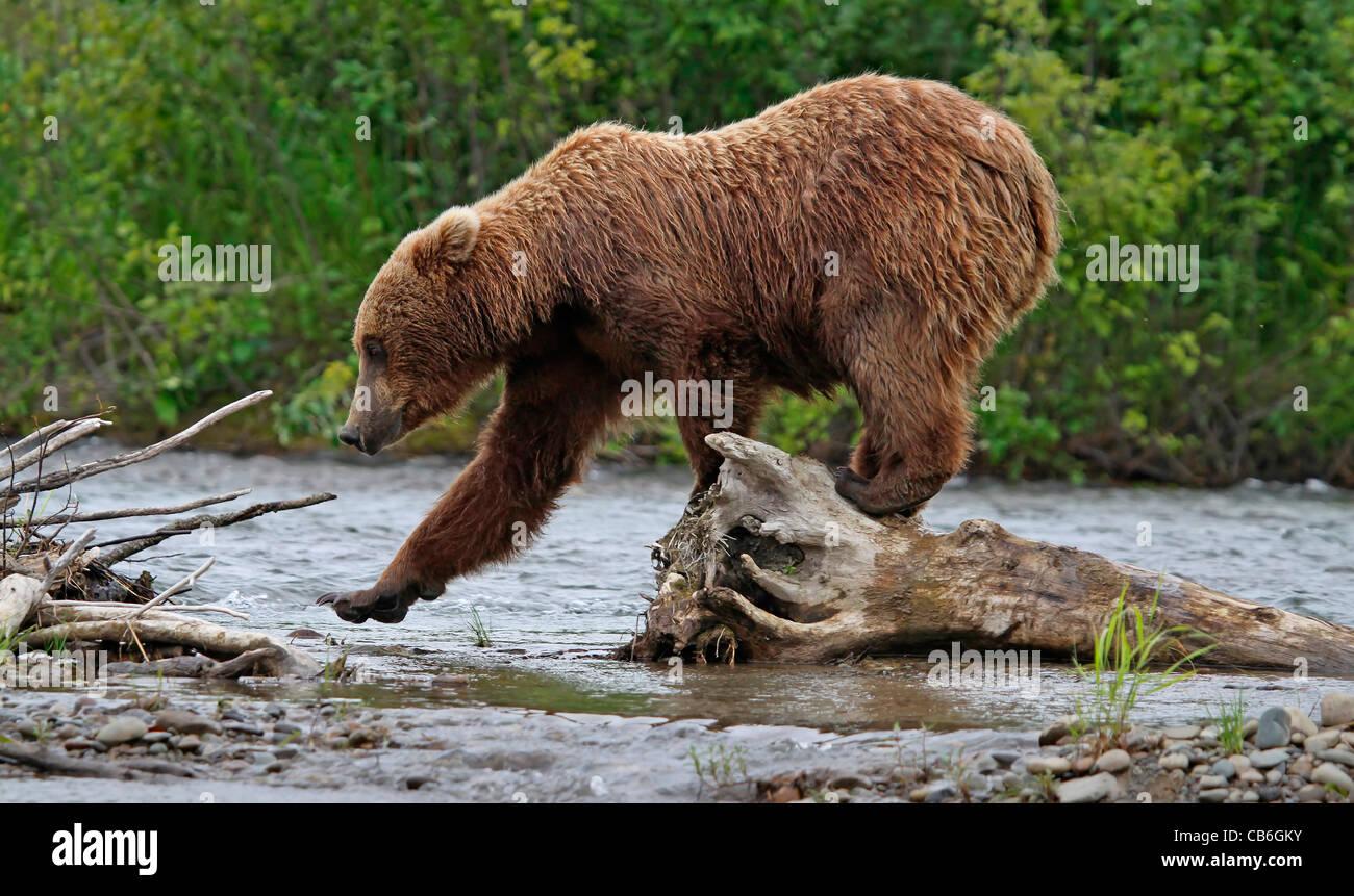 Grizzly Bear Ursus Arctos - Stock Image