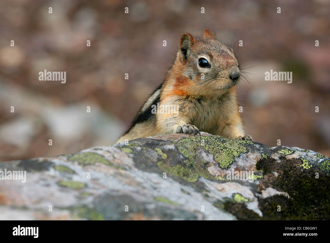 Golden Mantled Ground Squirrel Spermophilus lateralis - Stock Image