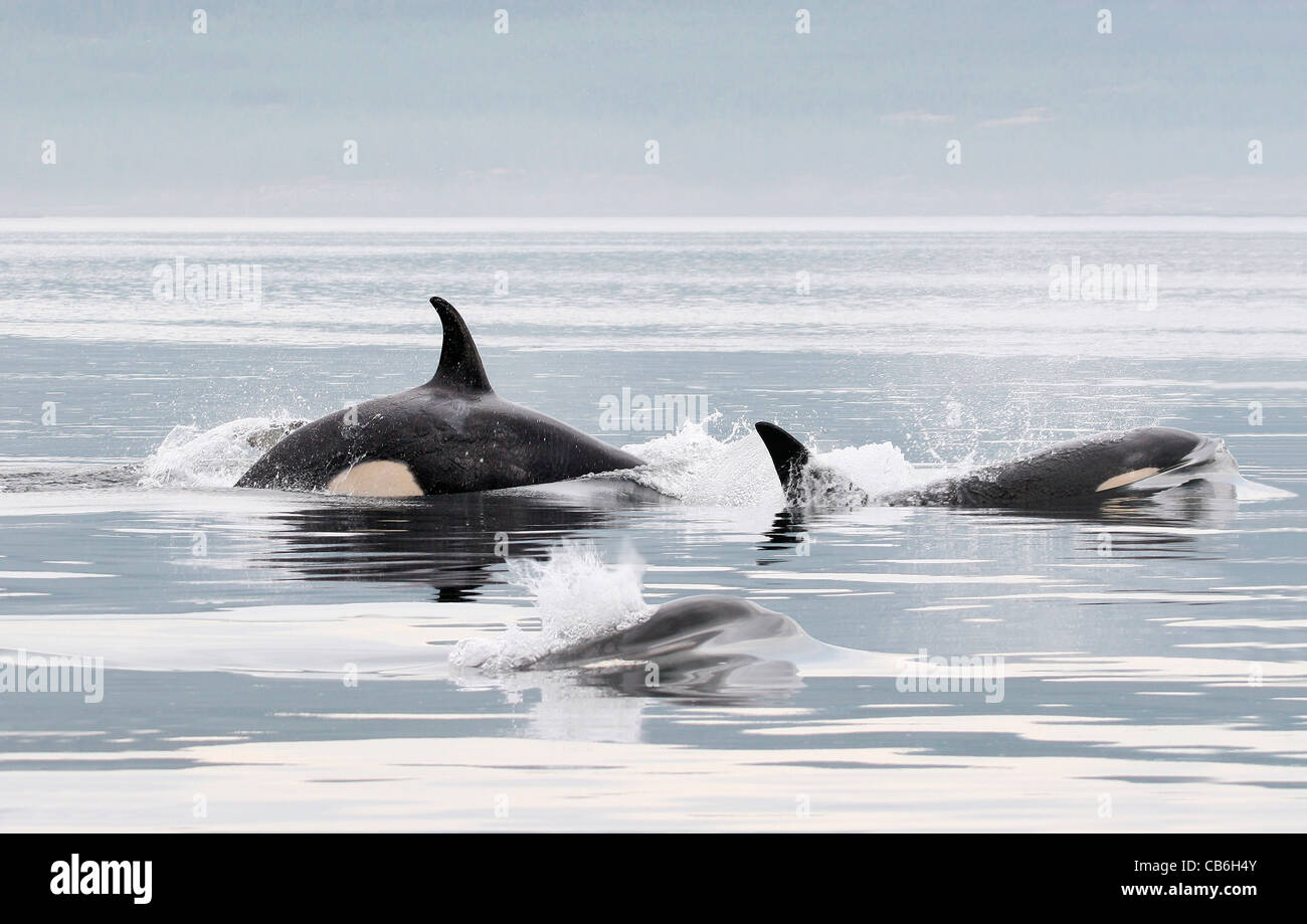 Baby Orcas Orcinus orca Canada - Stock Image