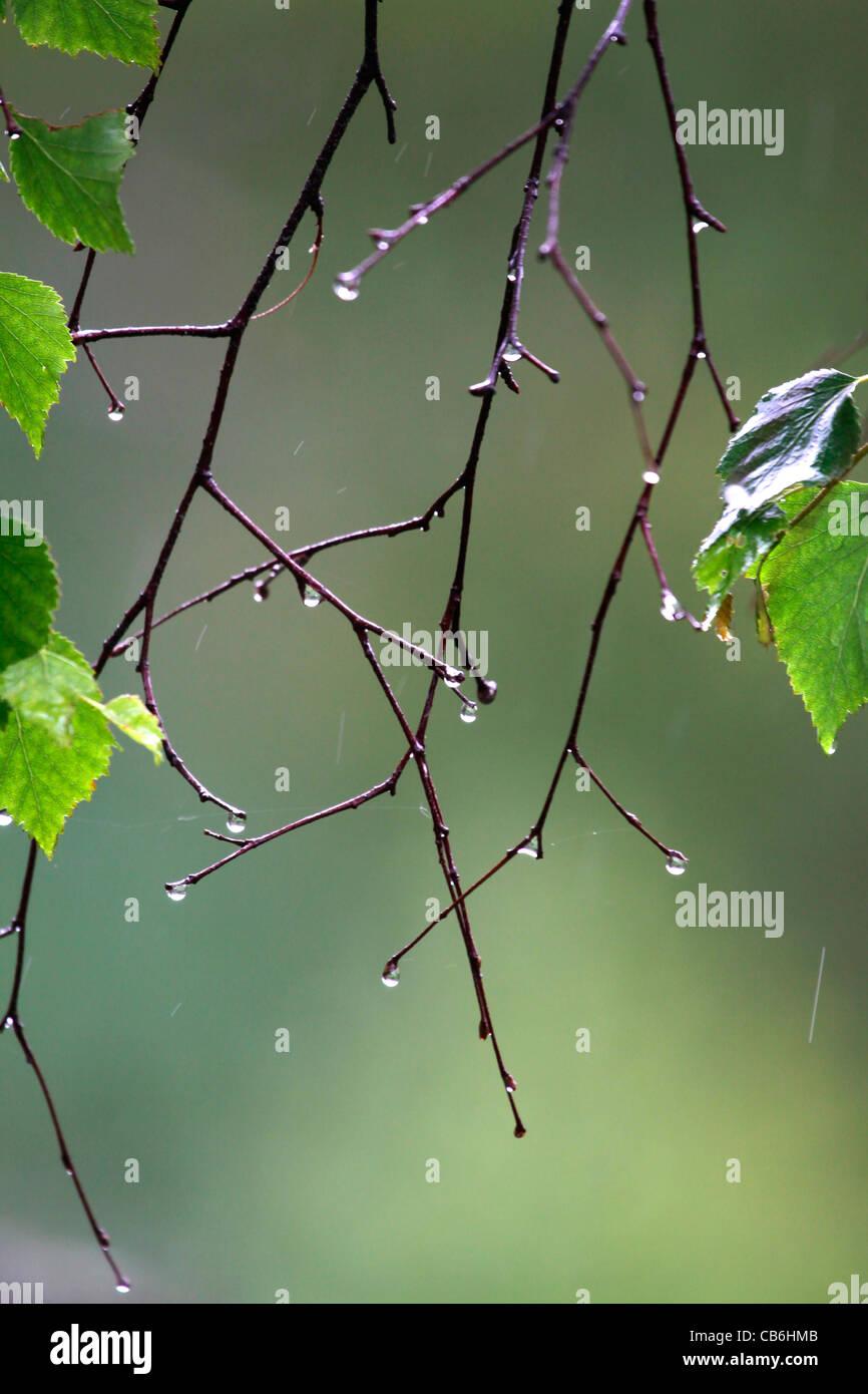 Rain Drops, Alaska - Stock Image