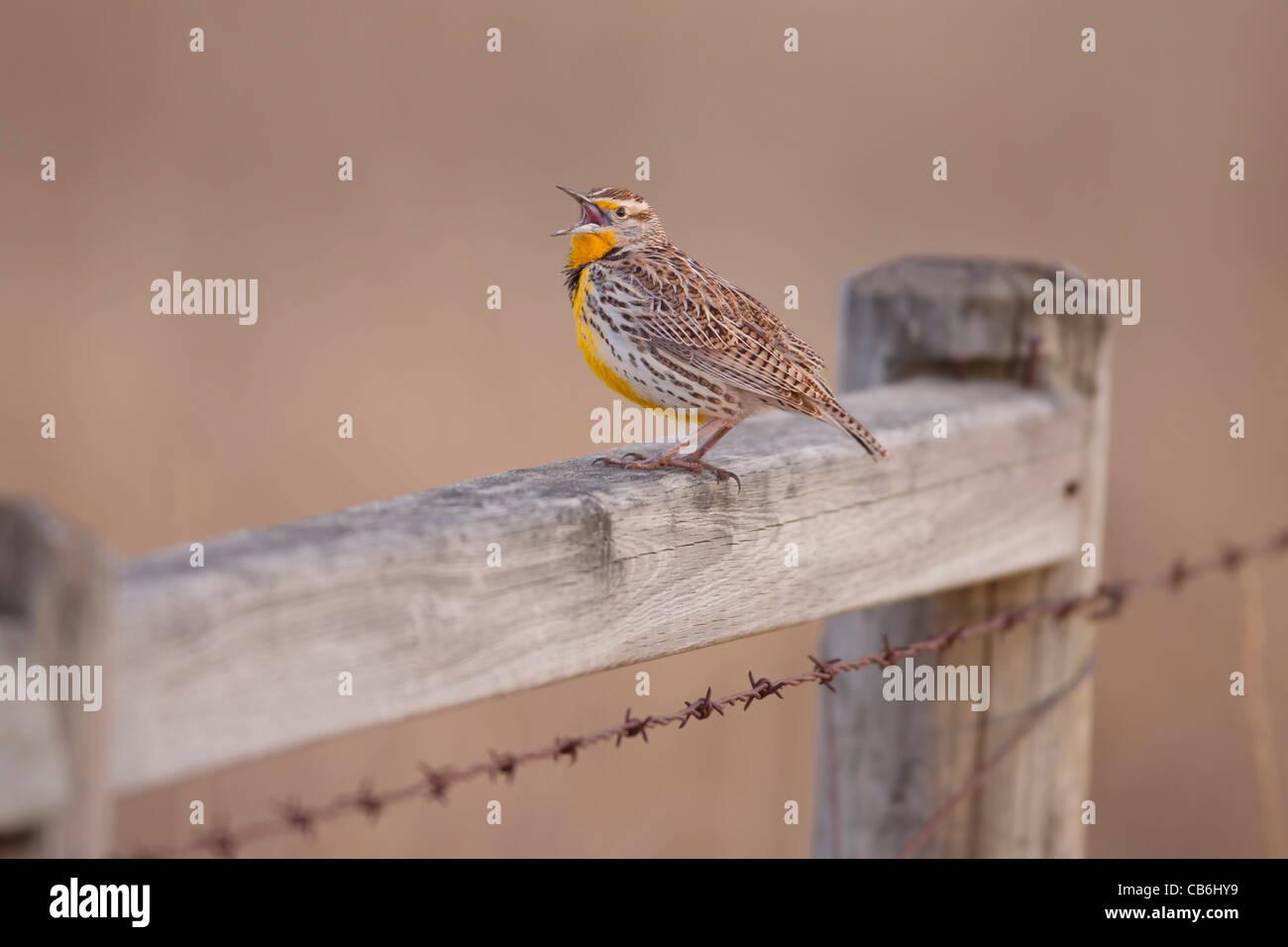 Western Meadowlark, Alberta, Canada Stock Photo