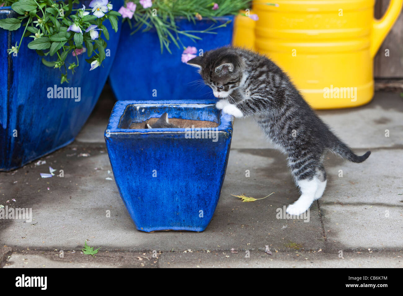 Kittens, two playing hide and seek in in plant pot, Lower Saxony, Germany - Stock Image