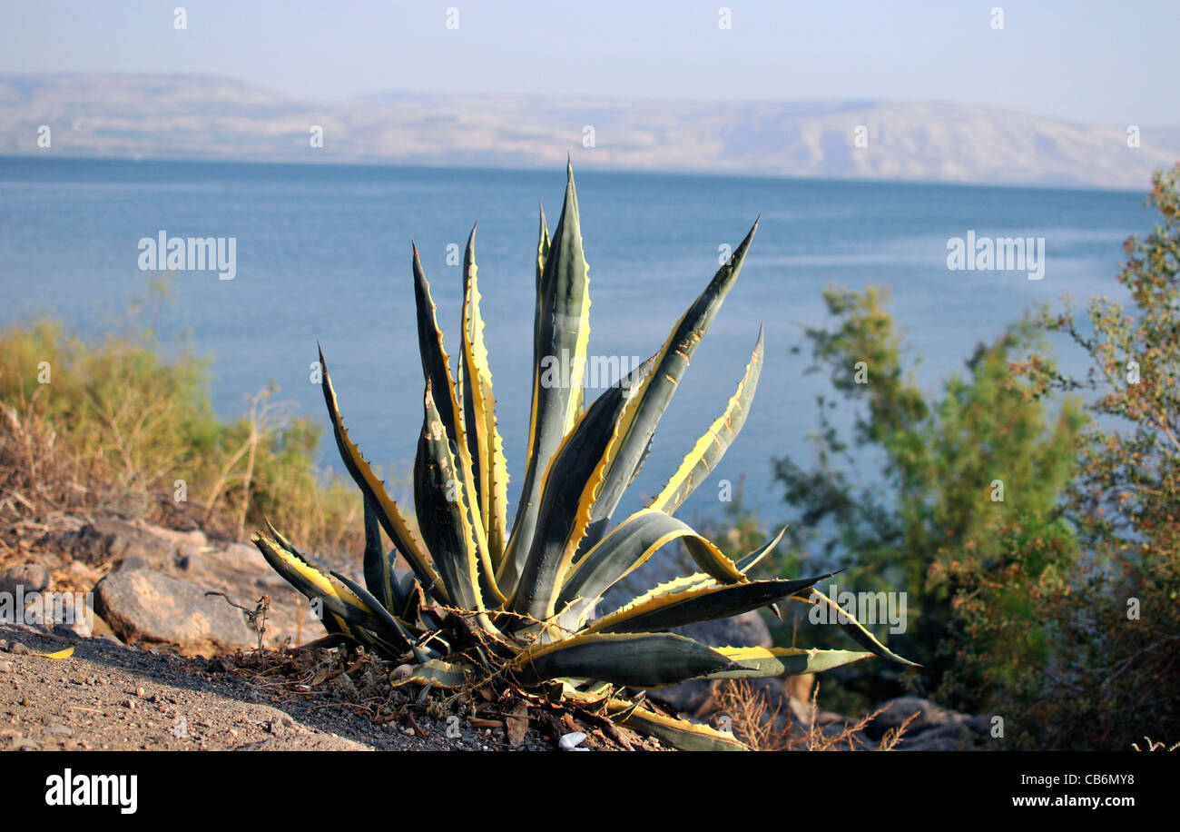 View on Sea of Galilee from Capernaum with Agave in front,, Galilee, Israel,Asia, Middle East - Stock Image
