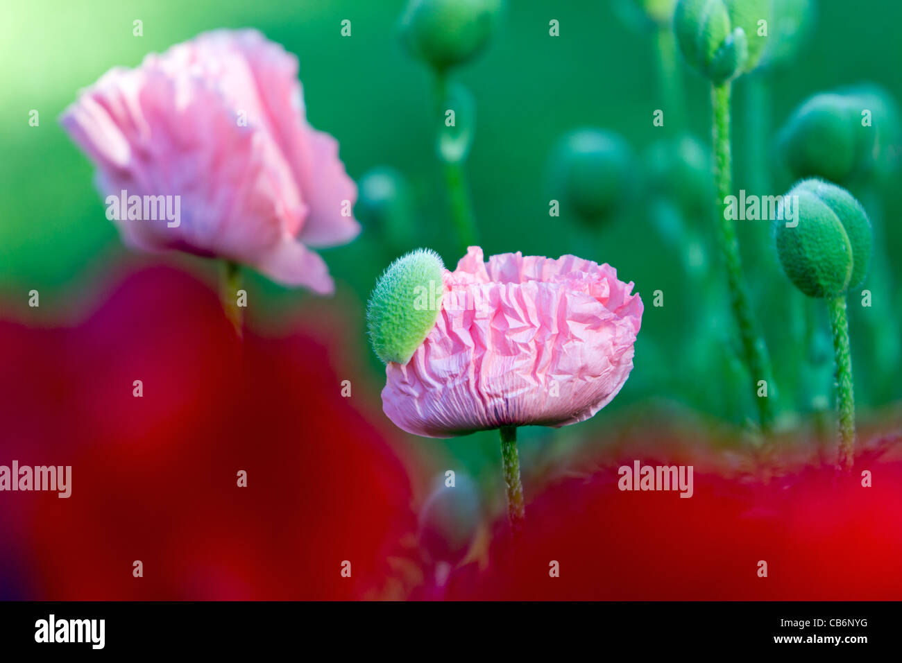 Pink Poppy (Papaver rhoeas cultivar), closed blossom head in garden, Lower Saxony, Germany - Stock Image