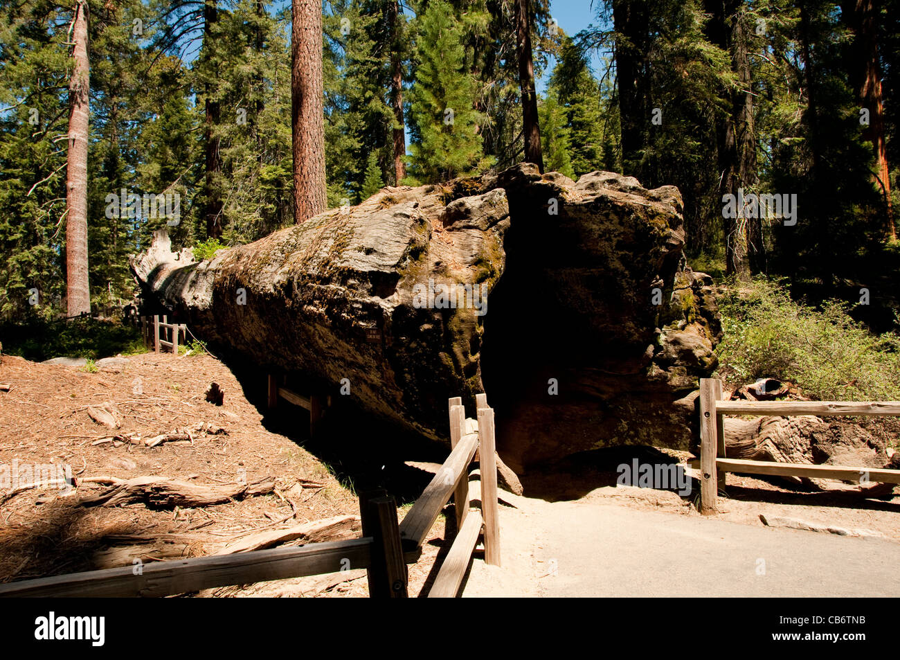 Fallen Monarch giant sequoia tree Kings Canyon National Park, California Stock Photo