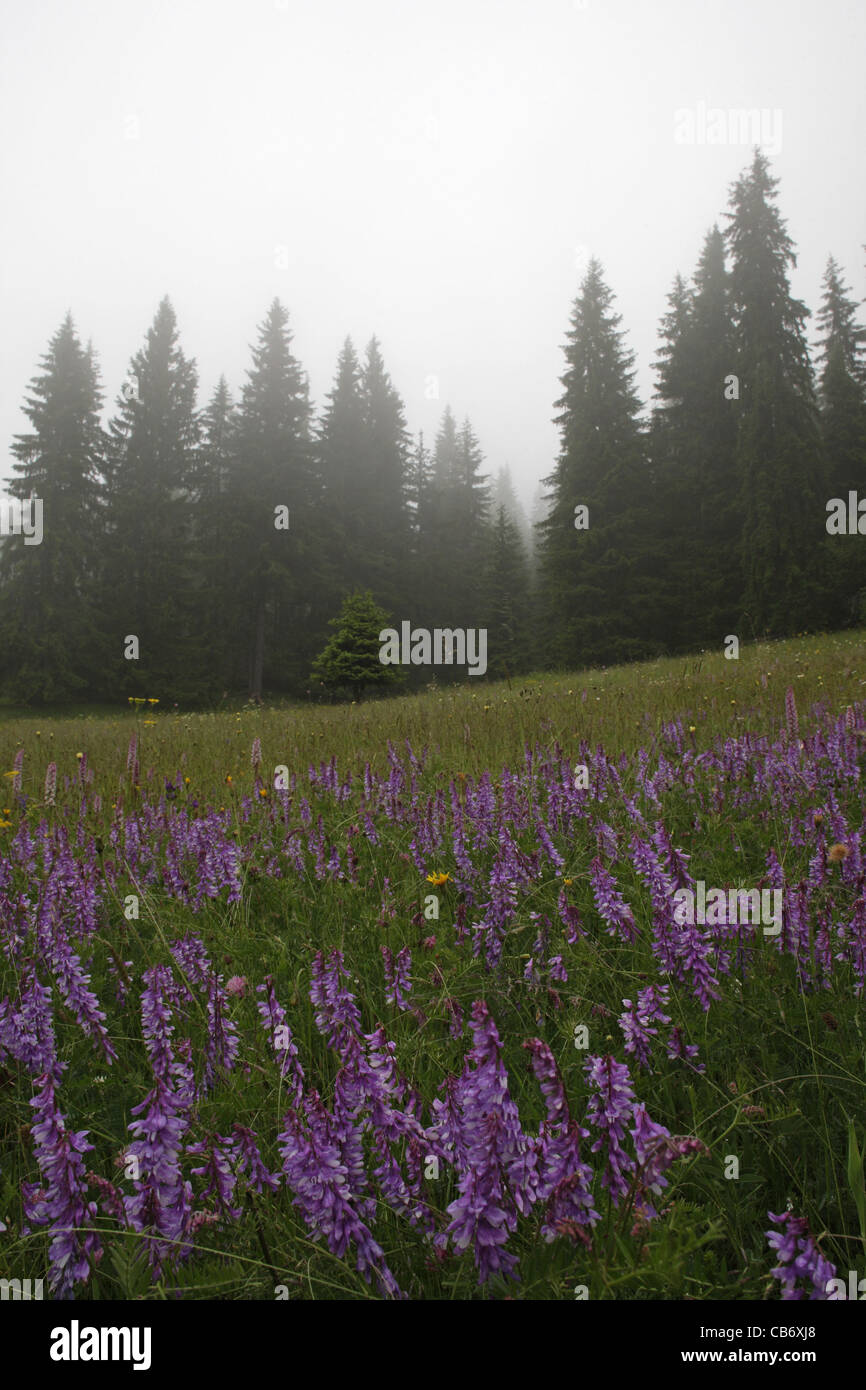 Blue flowers in the mountain meadow in fogy spruce forest. Rodopi Mountain, Bulgaria - Stock Image