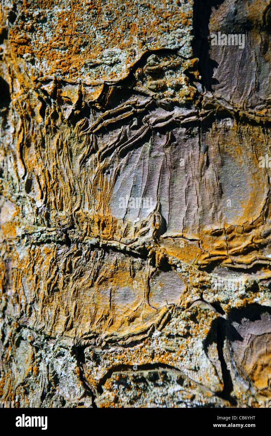 Close-up of Sitka Spruce tree bark in the Queen Elizabeth Forest Park in Scotland - Stock Image