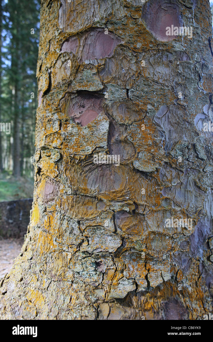 Tree bark of a Sitka Spruce tree in the Queen Elizabeth Forest Park in Scotland - Stock Image