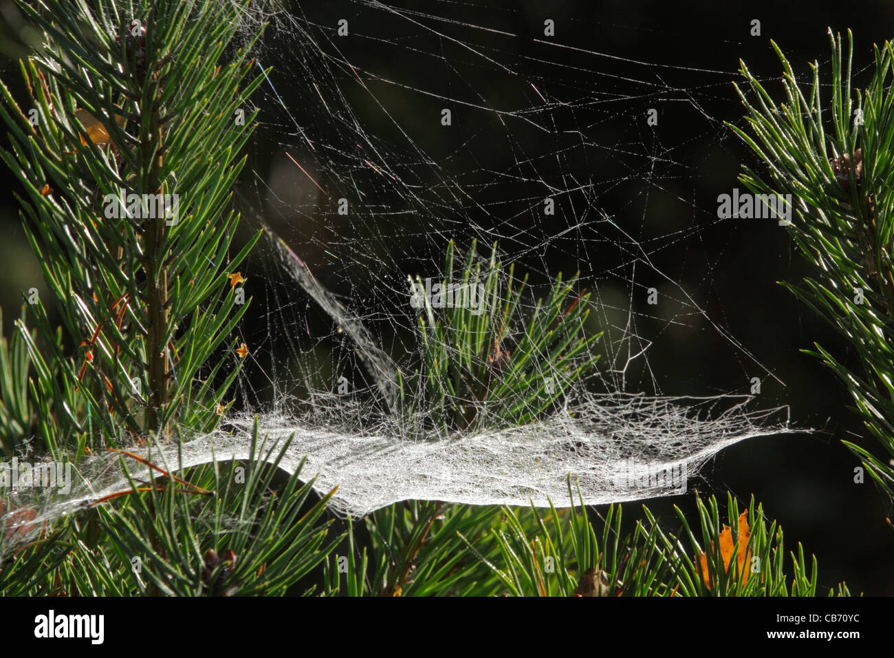 Spiders web sheet-web - Stock Image
