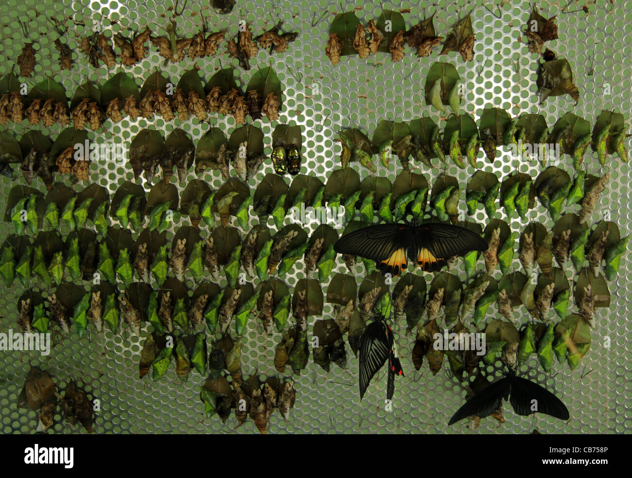 Butterfly Hatching /  butterfly farm / butterfly egg hatching Unit - Stock Image