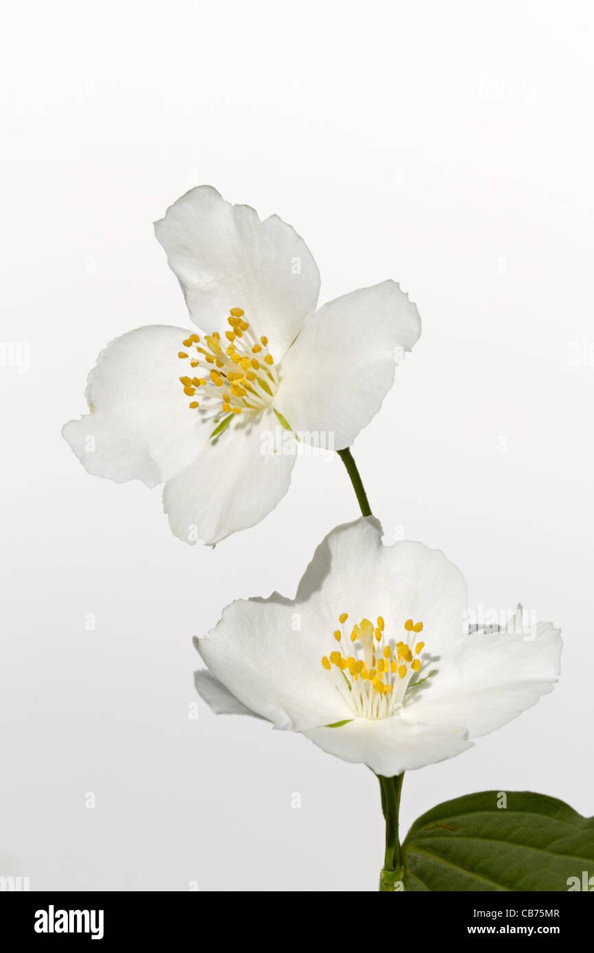Jasmine (Jasminum officinale) - Stock Image