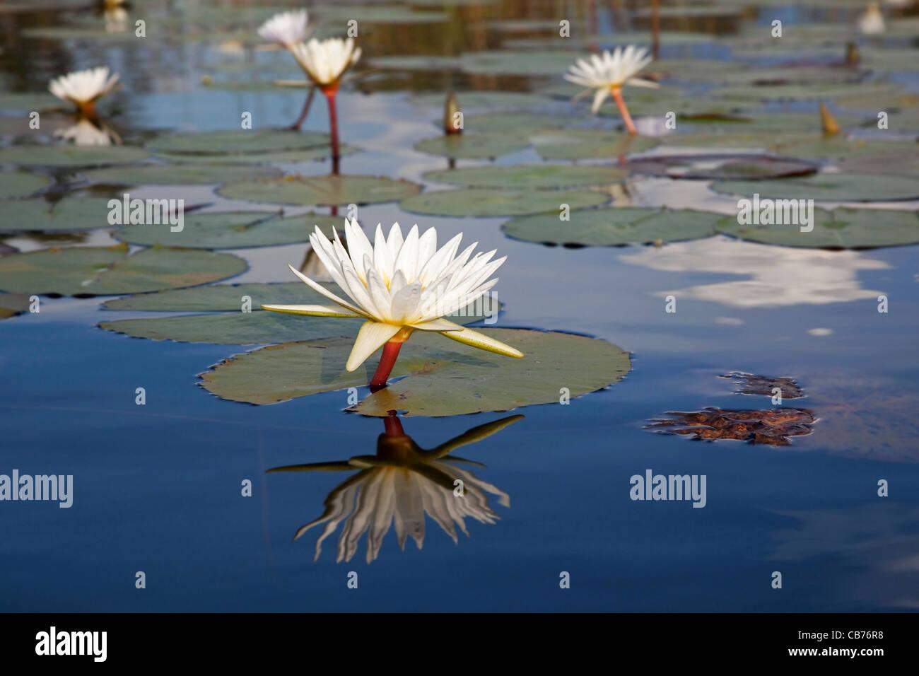 White water lilies on lake in the Okavango Delta, Botswana, Africa - Stock Image