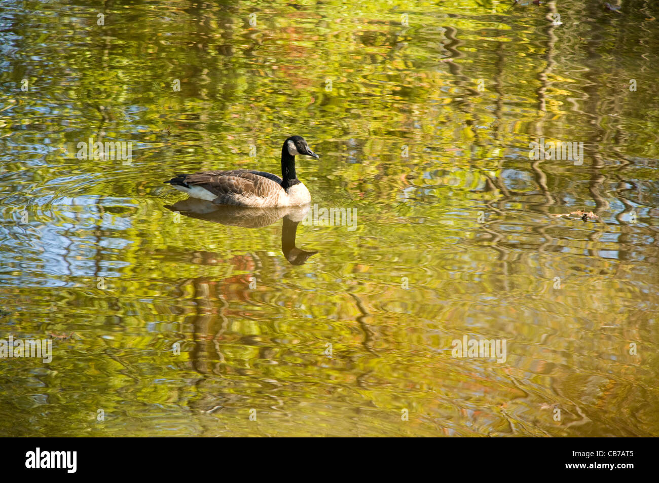 Goose or mallard swimming in a autumn stream with rippled reflections in the water - Stock Image
