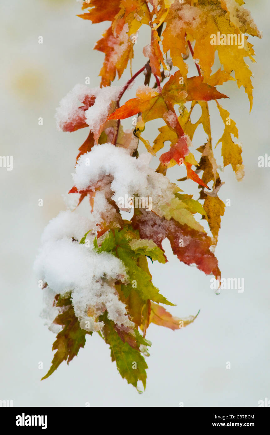 Snow on yellow, orange, green and red autumn leaves. A rare occurrence. - Stock Image