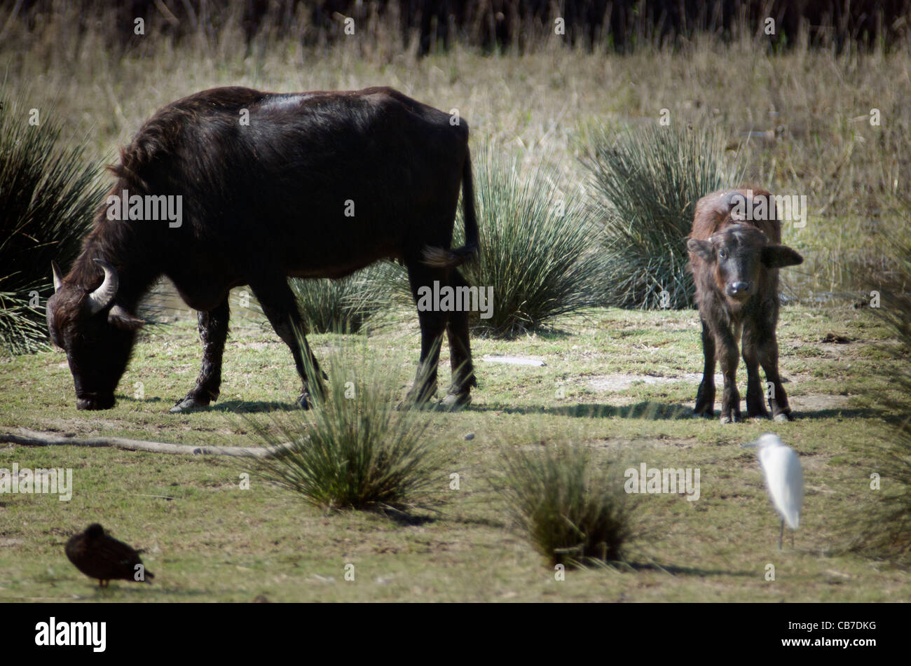 Water Buffalo, calf and black and white birds Stock Photo