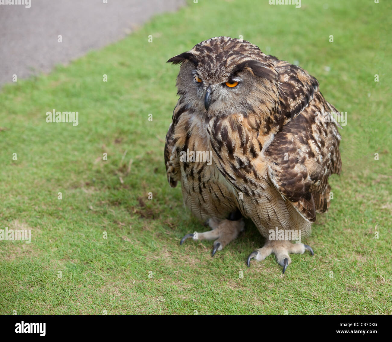 I Hate Mornings!  A European Eagle Owl with ruffled feathers and looking grumpy. - Stock Image