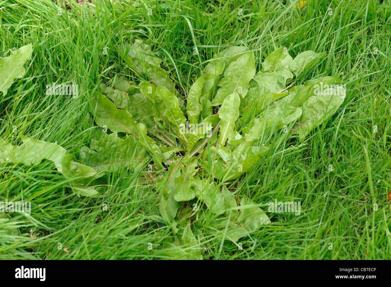 Dandelion (Taraxacum officinale) leaf rosette in pastureland - Stock Image