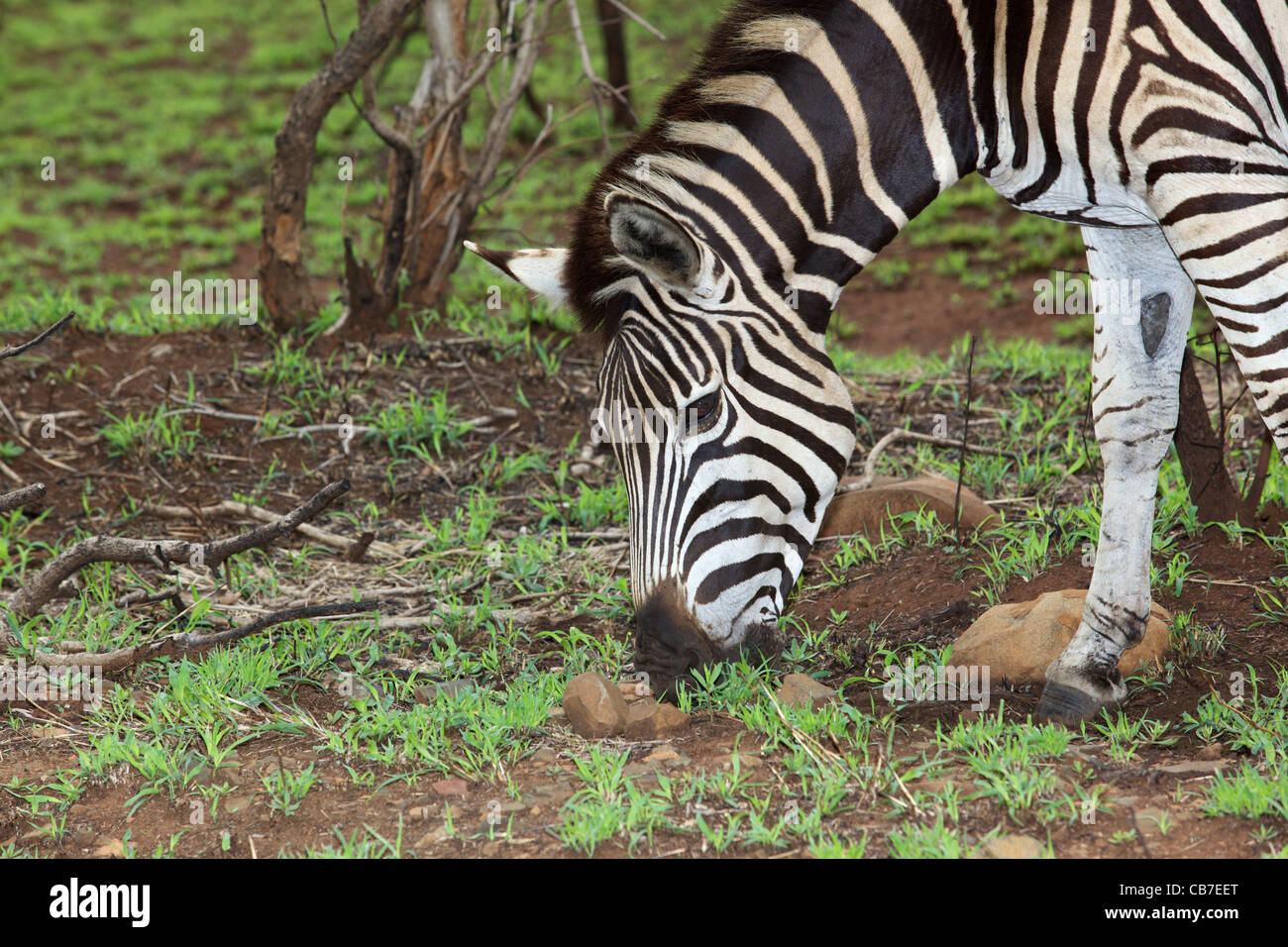 Plains or Burchell's Zebra (Equus burchellii) grazing in the Kruger National Park, South Africa. Stock Photo