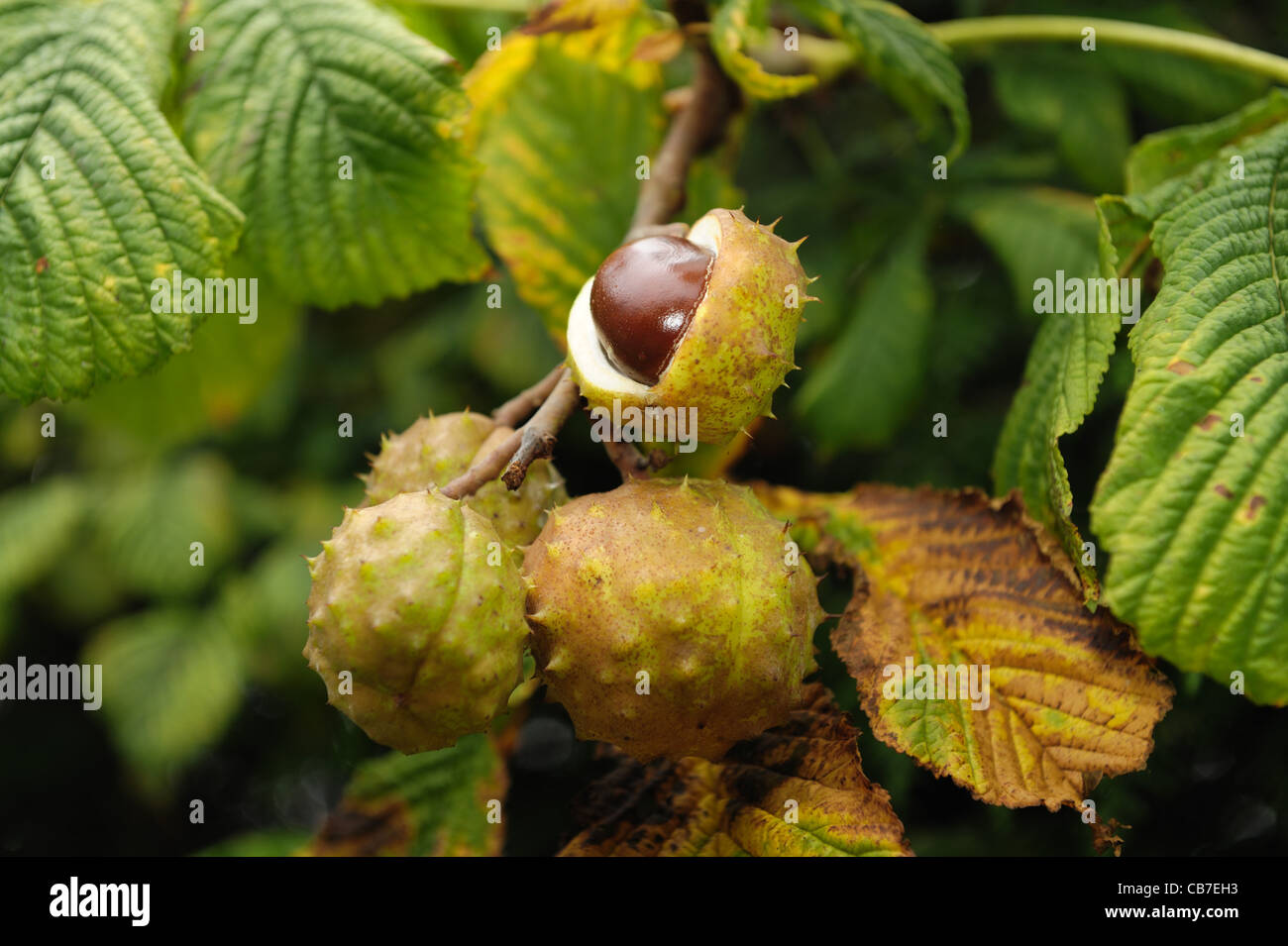 Horse chestnut tree (Aesculus hippocastanum) fruit 'conkers' on the tree, one open - Stock Image