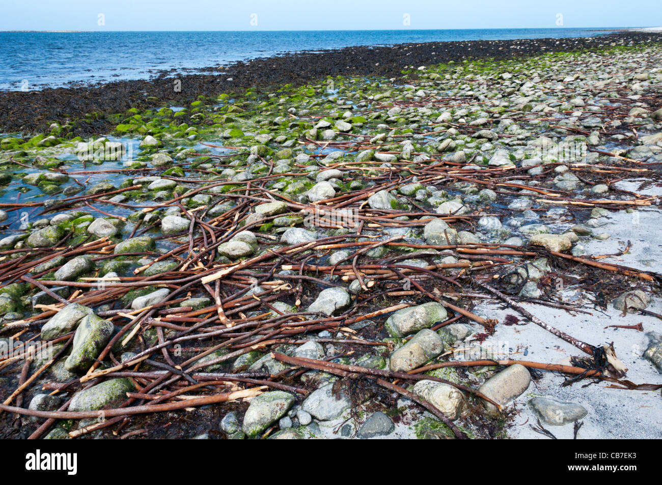 Kelp stems washed up on a Hebridean beach. - Stock Image