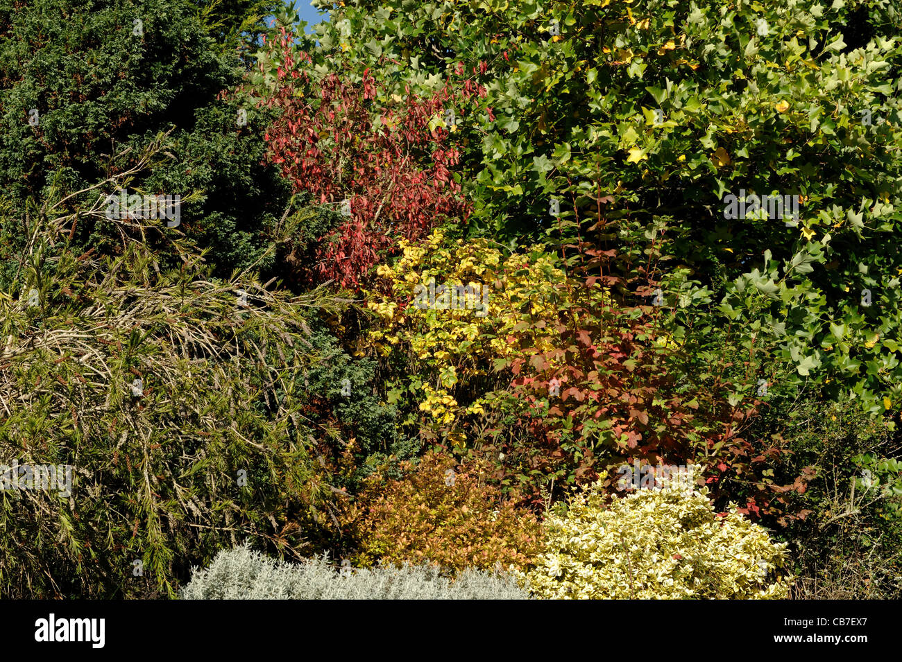 Terraced Devon garden shrubs and small trees with a range of autumn colours - Stock Image