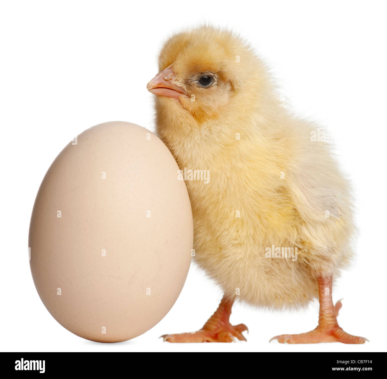 Chick with egg, 2 days old, in front of white background - Stock Image