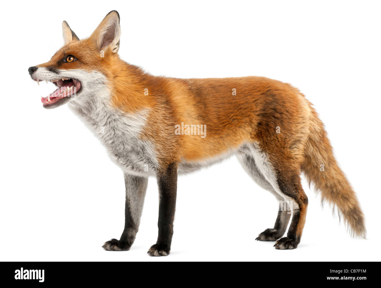 Red Fox, Vulpes vulpes, 4 years old, in front of white background - Stock Image