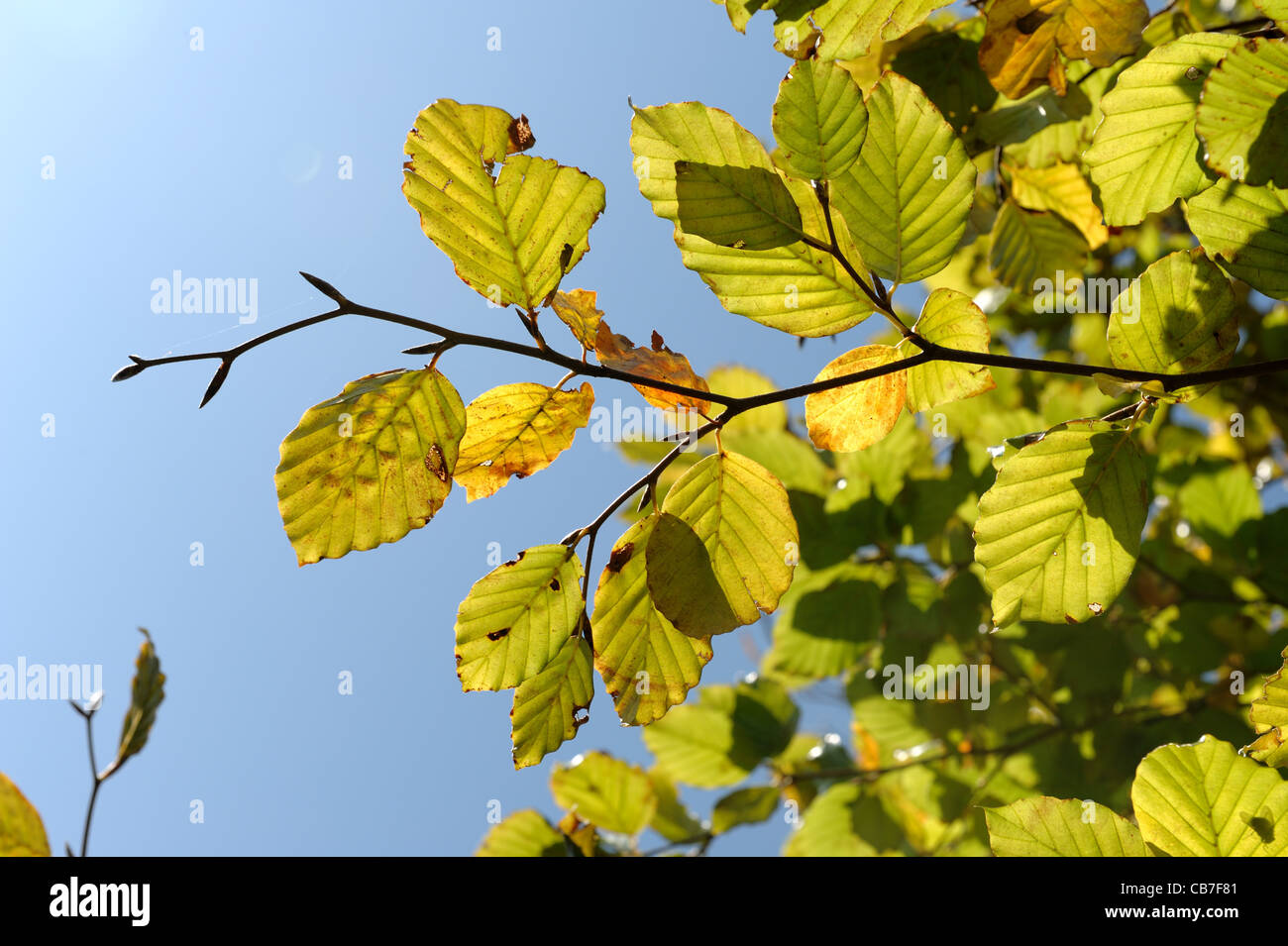 Beech leaves beginning to change colour in autumn against a blue sky - Stock Image