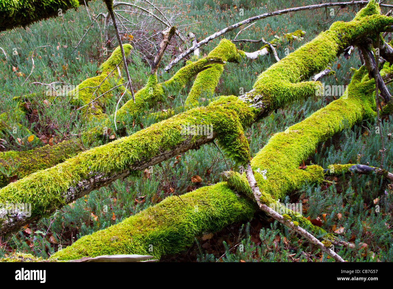 Mosses over a dead beechwood trunks. Monte Santiago Natural Monument. County Las Merindades. Burgos, Castile and - Stock Image