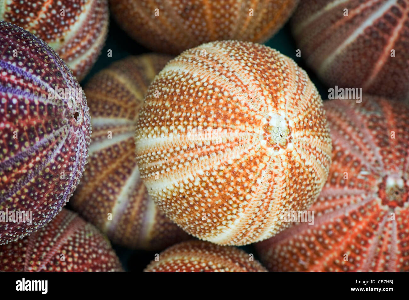 Sea Urchin shells or 'tests' on the Isles of Scilly - Stock Image