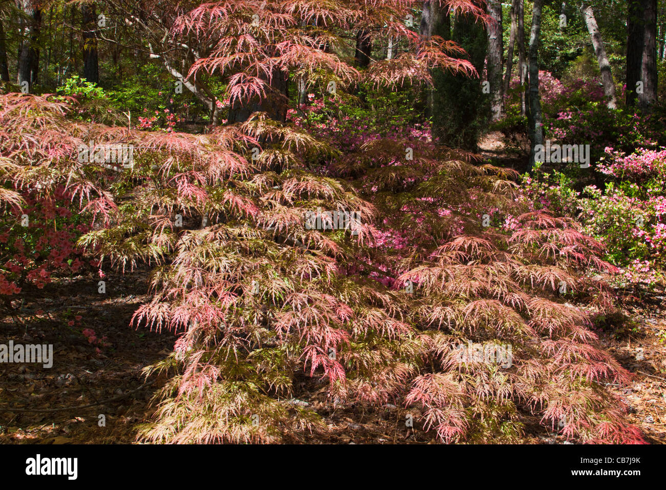 Japanese Maple tree, Acer palmatum \'Crimson Prince\', at Callaway ...